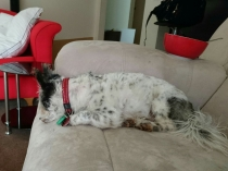 Little Jasper lay on the couch head down so he can look out the window...just like Kenzi does.