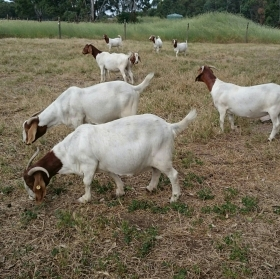 The goats :)